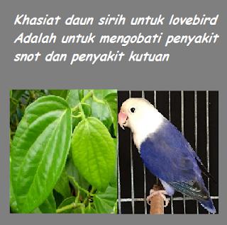 manfaat daun sirih untuk lovebird