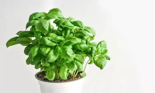 Basil Leaves will give you relief from indigestion and acidity in just 2 seconds