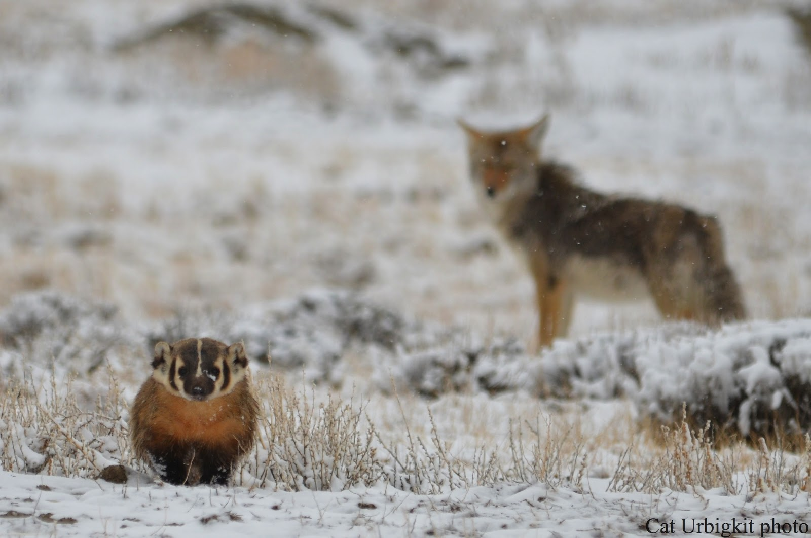 badger and coyote relationship