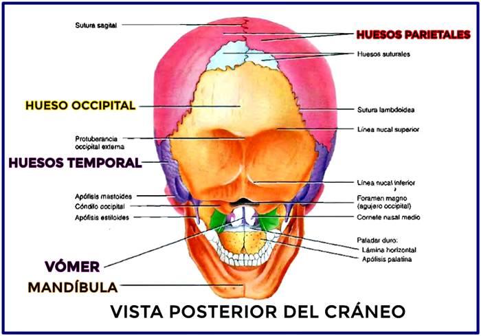 Hueso occipital: vista posterior del cráneo