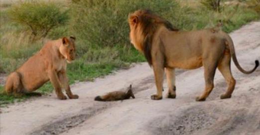 Deux lions s'approchent d'un bébé renard blessé. Ce qu'ils font alors est inexplicable.