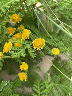 Asteraceae - Tanacetum camphoratum - Dune tansy