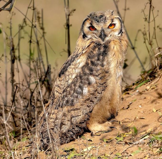Indian Eagle Owl  Churu, Rajasthan