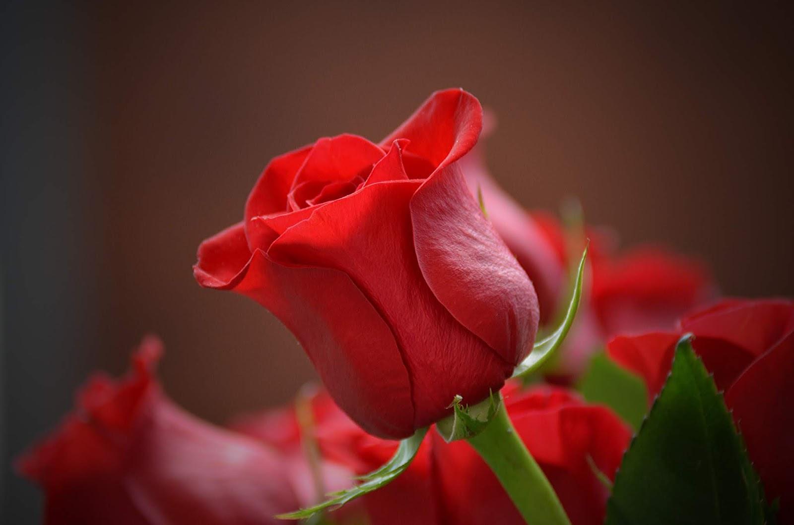 bunga mawar merah yang sangat cantik