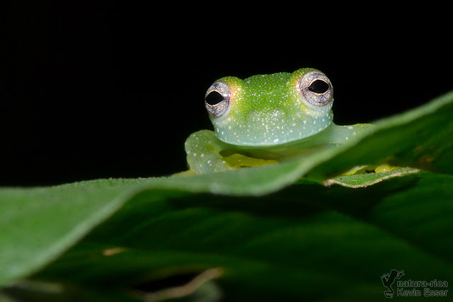 Powdered Glass Frog - Teratohyla pulverata