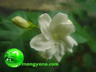 Bunga Melati - Jasminum sambac, Ait. Poto jepretan admin di taman Mang
