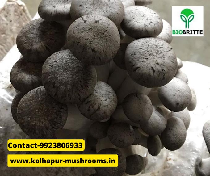 Mushroom spawn supplier in Solapur | mushroom supplier | mushroom training | mushroom farming | mushroom store | mushroom business | mushroom products
