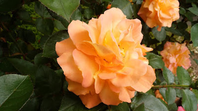 アンネフランクのバラ