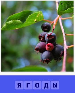 растут спелые ягоды на ветке темного цвета