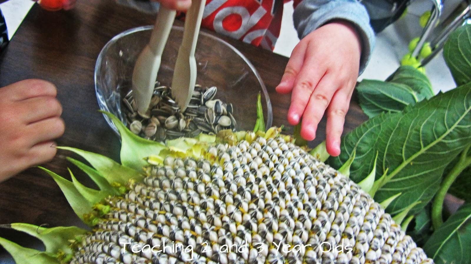 Preschool Science With Sunflowers