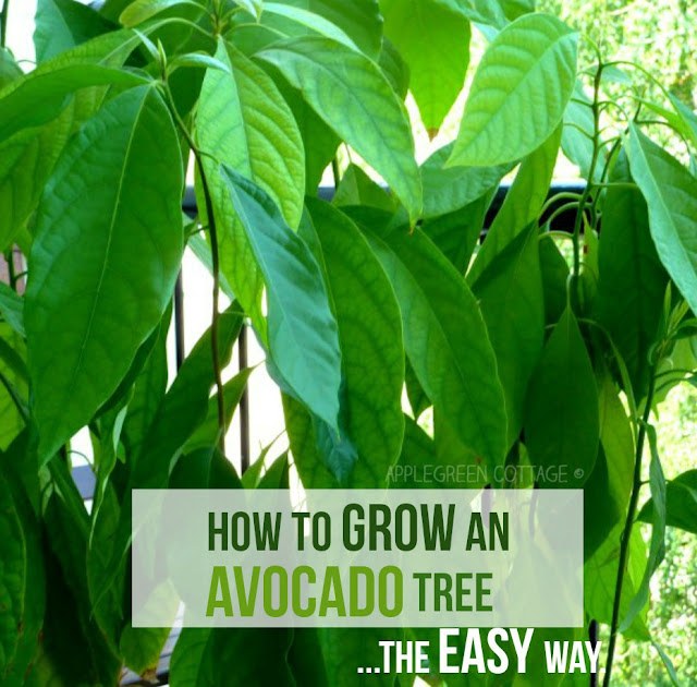 How to grow an avocado tree - the easy way