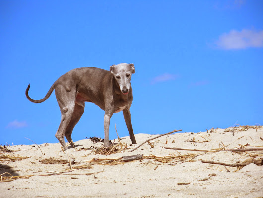 Dogs are not our whole life, but they make our lives whole: Mario the Italian Greyhound