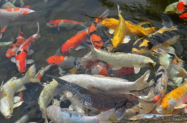 أسماك الزينة