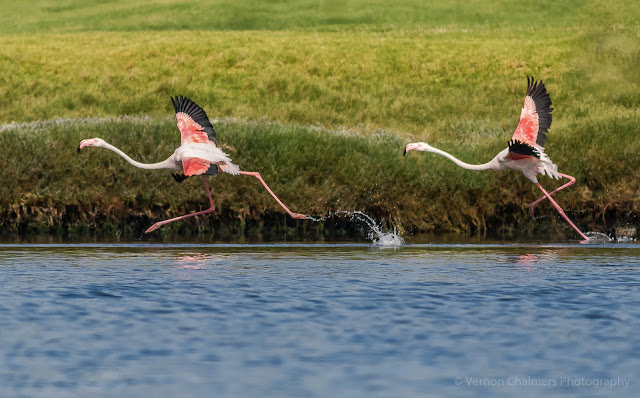 Greater Flamingoes Woodbridge Island by Vernon Chalmers Photography