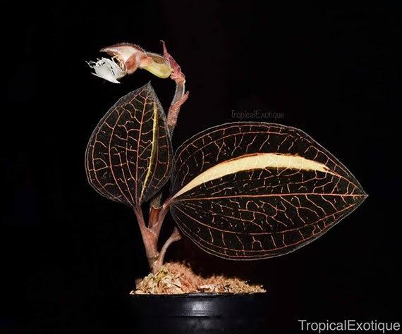Anoectochilus geniculata