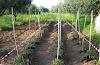 Το φύτεμα της ντομάτας και τα μυστικά της