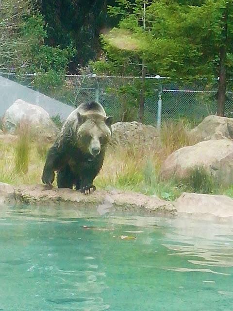 urso entrando na agua