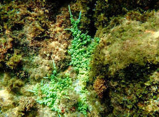 Snorkeling Bequia Ocean Corol Bequia St Vincent The Grenadines Caribbean