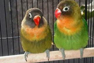 Cara Mengetahui Umur Burung Lovebird Dari Ciri Ciri Fisiknya
