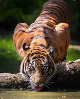 Tiger HD Images 2020 You can set your wallpaper {HD Wallpapers}