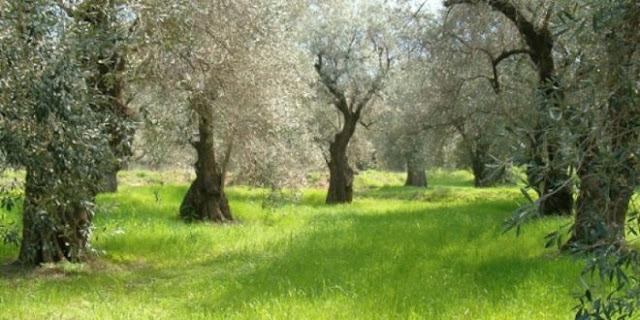 Φθιώτιδα: Ξεκινούν οι ψεκασμοί για τον δάκο της ελιάς