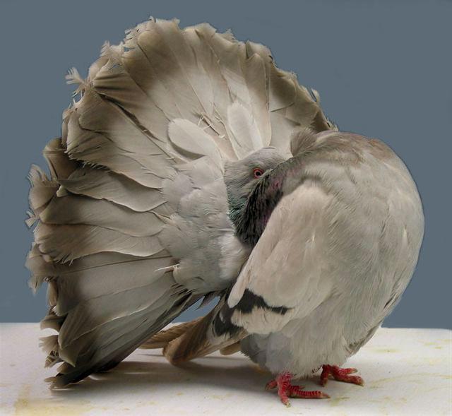 O cauda-de-leque é uma das mais populares raças de pombo. Seu nome é dado por conta de sua cauda que se abre em forma de leque.  Diferente dos demais pombos, que possuem apenas de 12 a 14 penas na cauda, este tem de 30 a 40 penas.