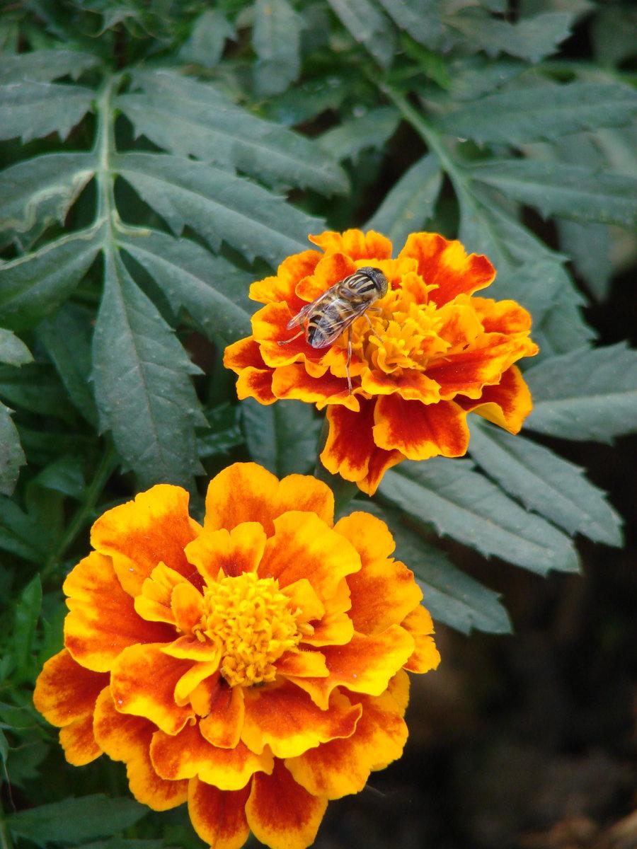 The Marigold Tarot Major Arcana The: We Love Our Bangladesh: Marigold Flower Or Gada/Genda Ful