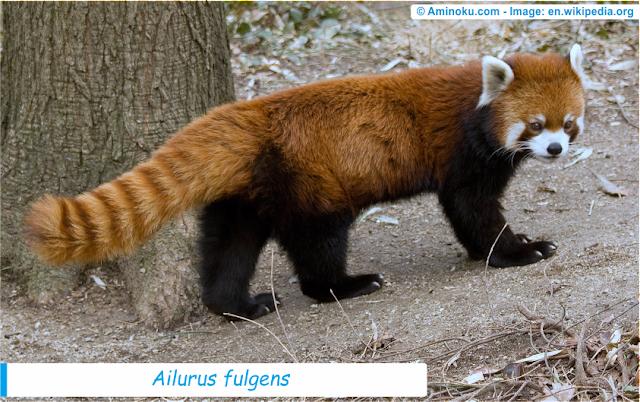 Fakta unik panda merah