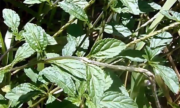 Gervão (Stachytarpheta cayennensis)