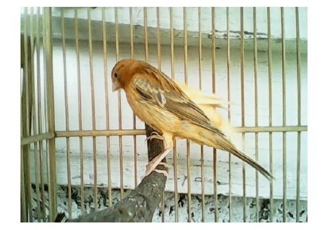 Mengetahui Ciri-Ciri Burung Kenari Isabel dan Karakteristiknya