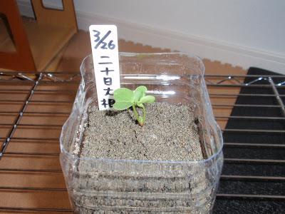 ペットボトルで作る水耕栽培!始める前に気をつけ …