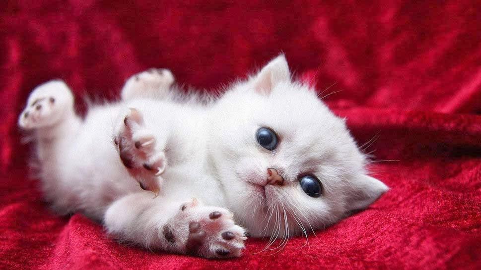 wallpaper-kucing-putih-kecil