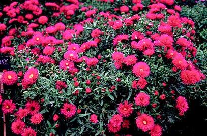 Piante e fiori piante perenni che fioriscono in autunno e for Piante da sole perenni