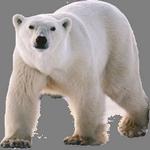 polar bear in spanish