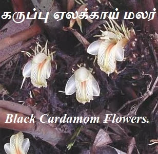 black Cardamom flower