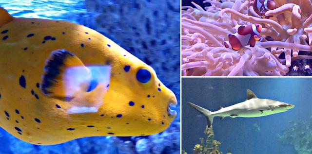 Pufferfish, clownfish and shark
