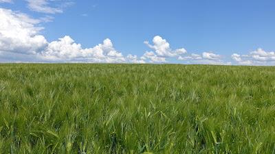 Grünes Kornfeld unter blauem Himmel