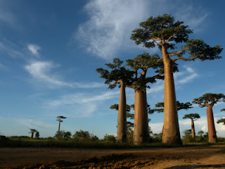 Baobabs - Madagascar