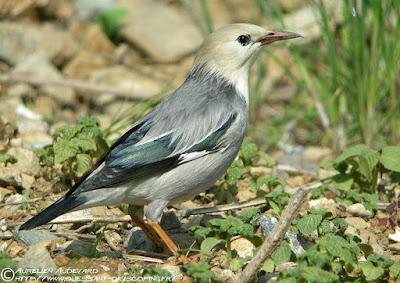 Red-billed Starling