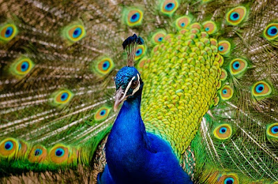 Peacock Bird with his open wings
