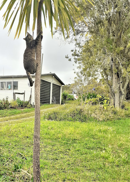 my cat Otto up a cabbage tree
