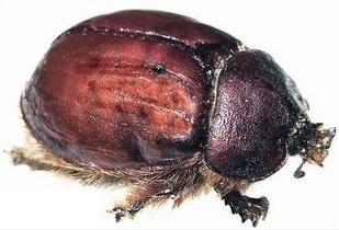 serangga cochineal