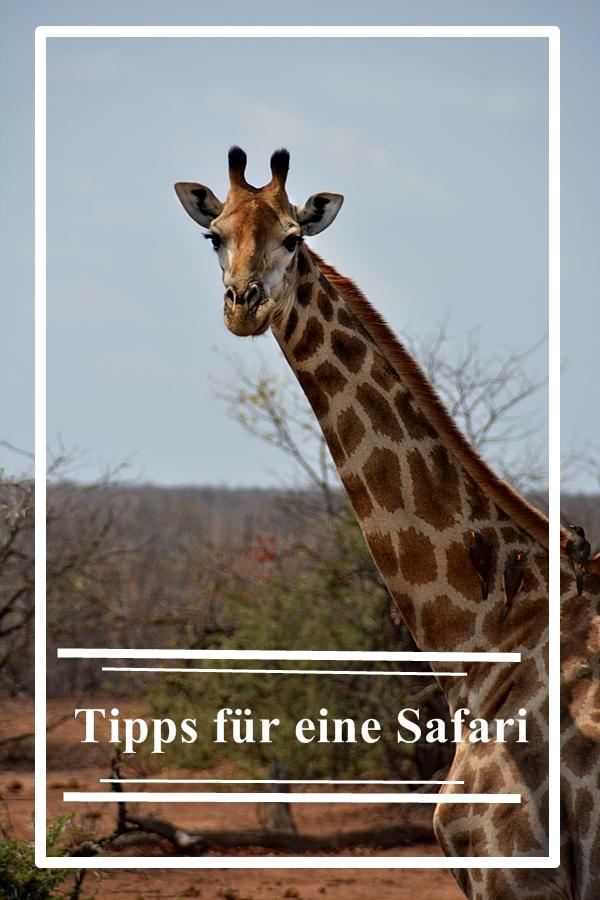 giraffe schaut in die Kamera