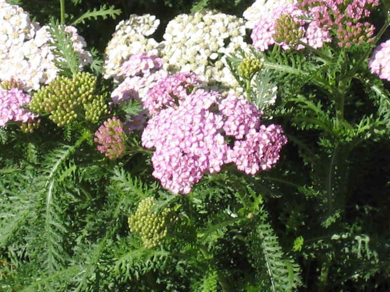yarrow flower - photo #43