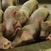 African Swine Fever nagbungkaras liwat sa Naga City
