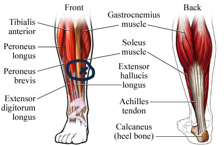 crossfit day 256 – shin and calf pain – 5/22/13 – alicia ... calf diagram