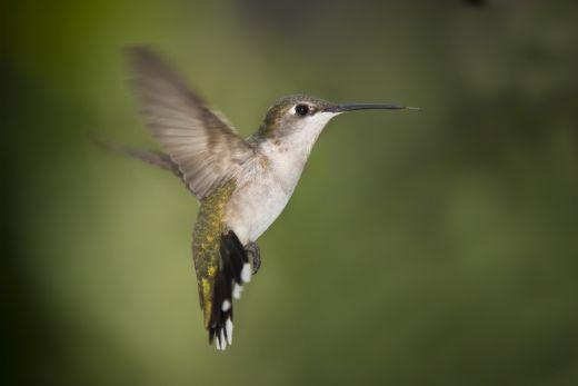 Güzelliğiyle Tüm Dünyayı Büyüleyen En Dünyanın En Güzel Kuşları - Raket Kuyruklu Sinek Kuşu - Kurgu Gücü