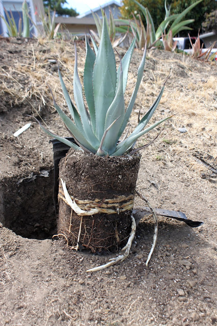 Agave franzosinii out of a pot showing how root bound it had become