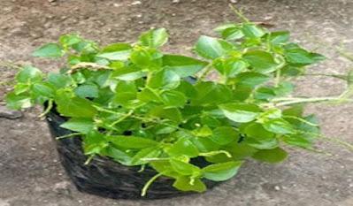 Tumbuhan Suruhan - Obat herbal dan manfaat lainnya | Bagian 2