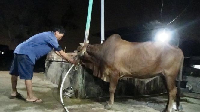 Gia Lai: Phát hiện nhiều cơ sở bơm nước vào bò trước khi giết mổ